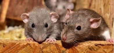 Captive Rats