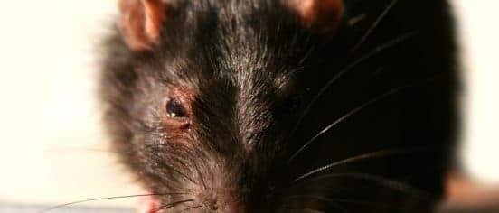 Close-up rat