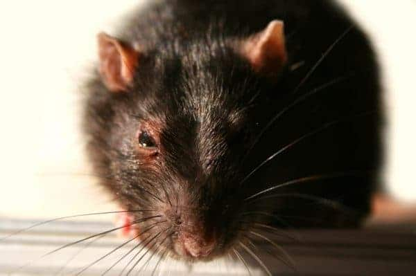 Close-up rat